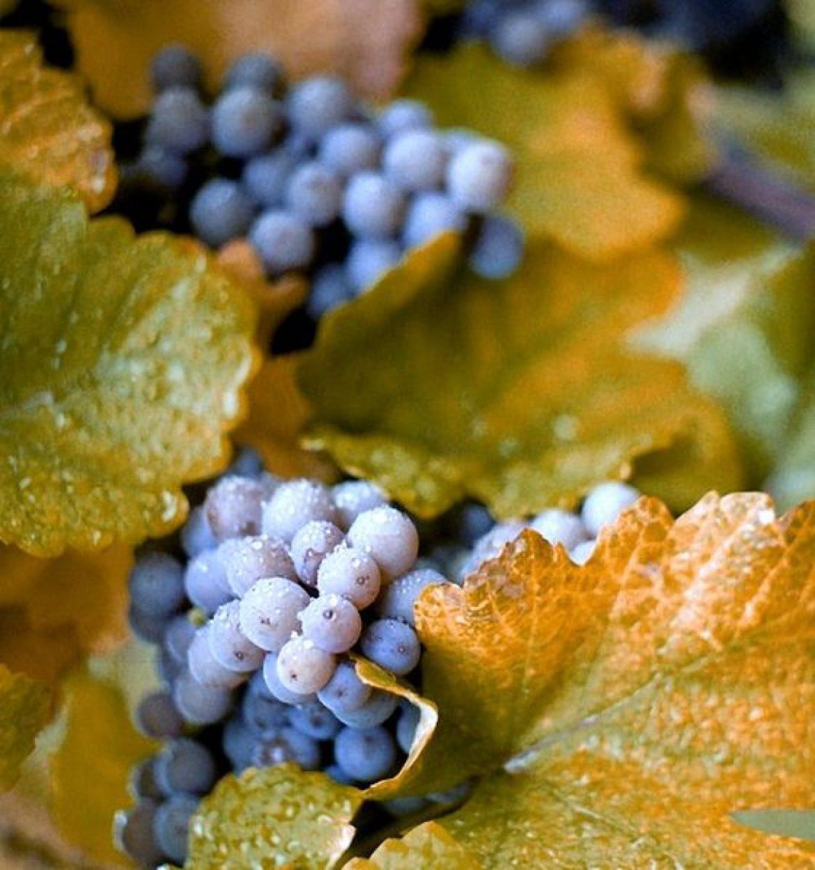 Szlakiem wina po lubuskich winnicach